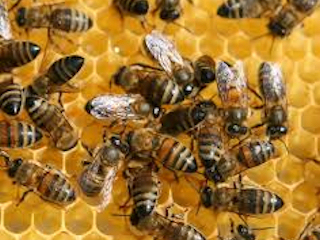 Pomocne mleczko pszczele.